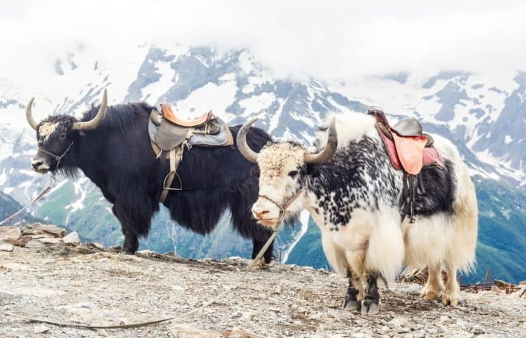 Yaks in the mountains, Dombay, Russia