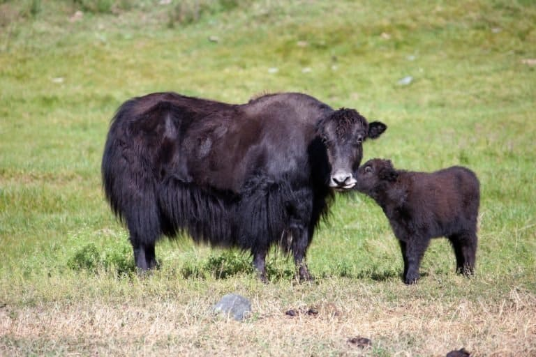 Yak cow and a calf communicate in a green meadow.