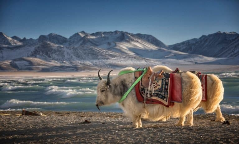 Yak, Namtso Lake in Tibet, China