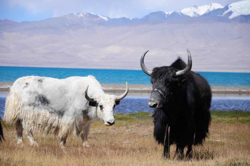 Two Yaks standing in grass near lake in Tajik Mountains