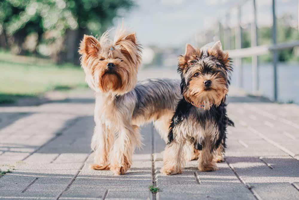 Yorkshire Terrier (Canis familiaris) - on walk down boardwalk