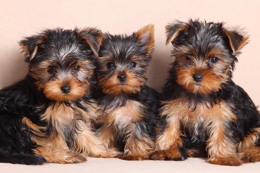 Yorkshire Terrier (Canis familiaris) - three puppies sitting next to each other