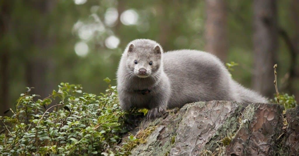 young mink on a log