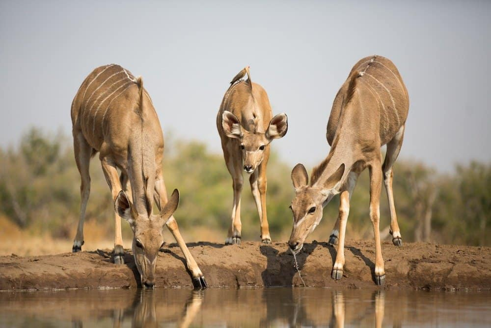 Two adults and one baby kudu