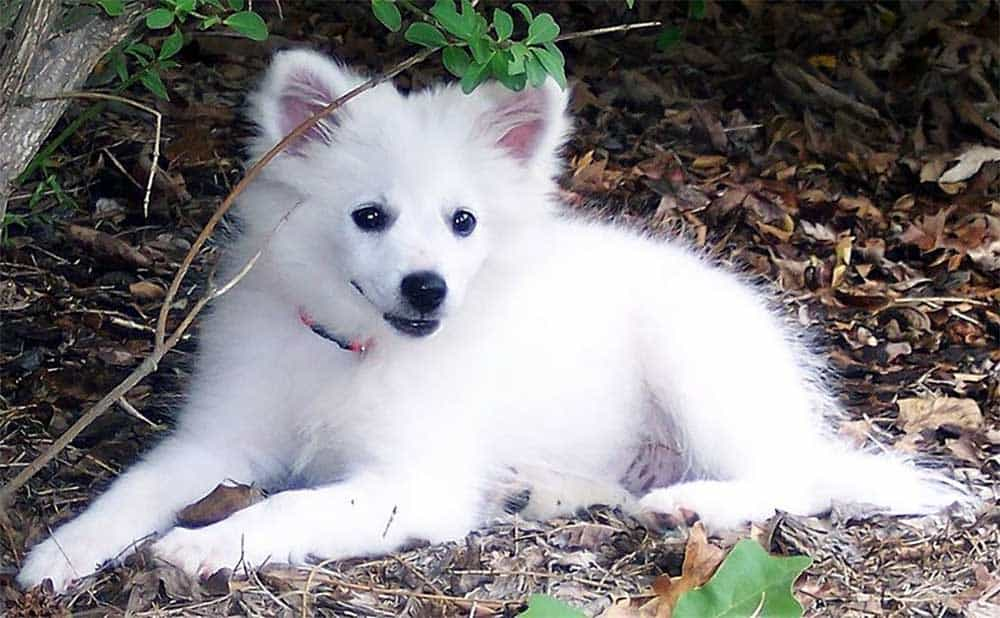 American Eskimo Dogs are among the best apartment dogs
