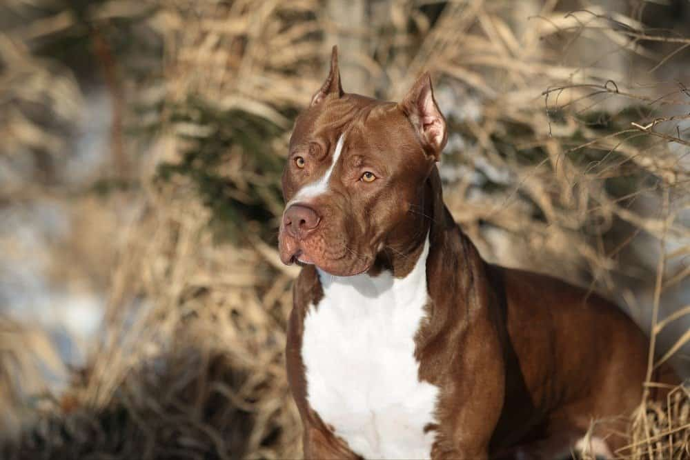 Beautiful dog American Pit Bull Terrier in nature