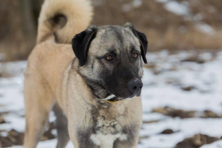 Anatolian Shepherd dog in the snow