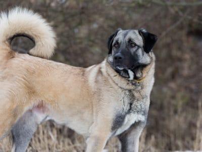 A Anatolian Shepherd Dog
