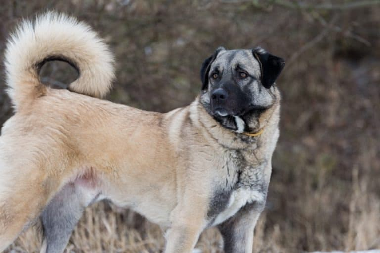 Anatolian shepherd dog standing outside