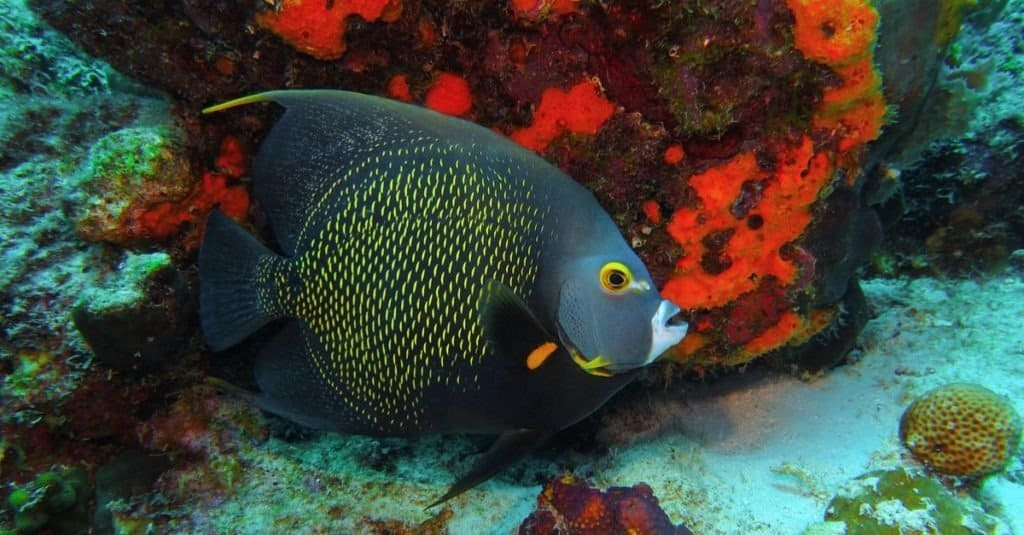 Swimming french angelfish (Pomacanthus paru) and red coral reef.