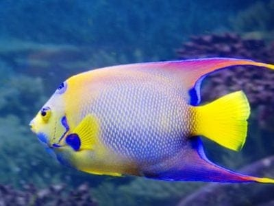 A Angelfish