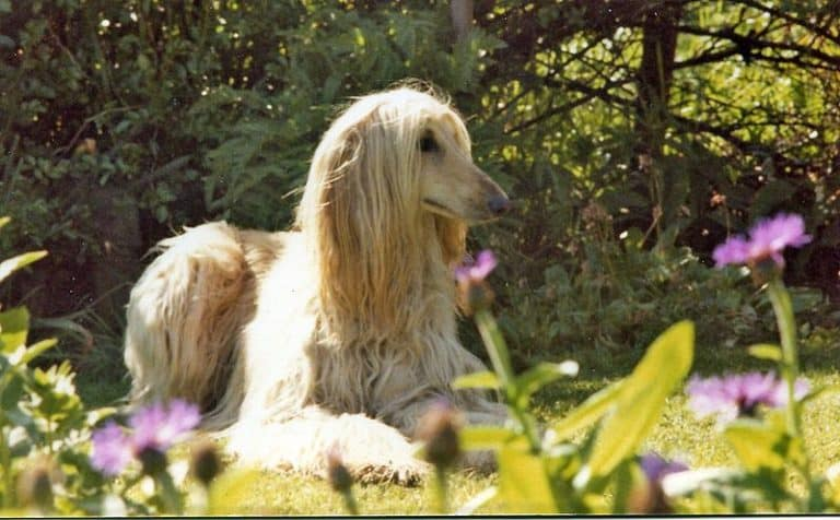 Afghan Hound laying outside in the shade.