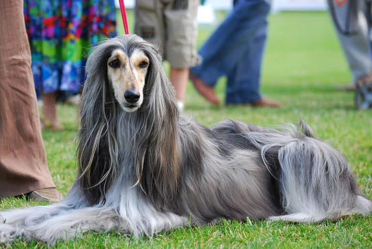 Afghan Hound dogs are popular show dogs.