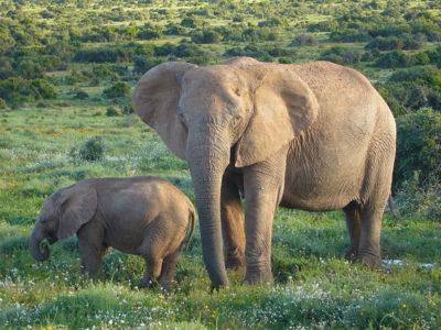 A African Bush Elephant