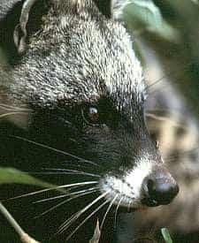 African Civet Close-Up
