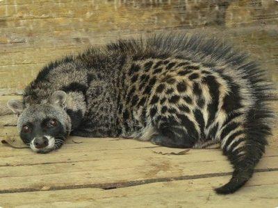 A African Civet