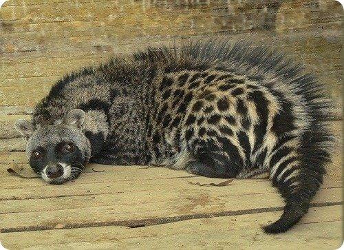 An African Civet