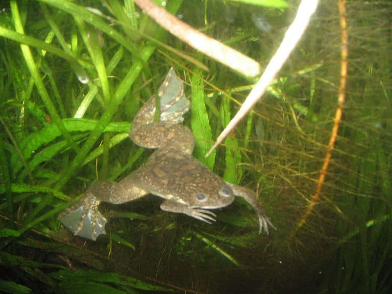 Frog  Xenopus laevis  Xenopus Laevis Size