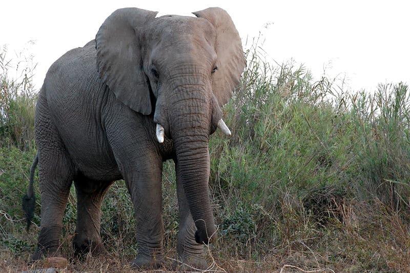 african elephants height