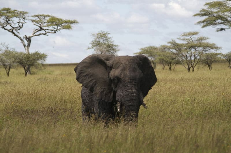 Picture 8 of 8 - African Forest Elephant (Loxodonta ...