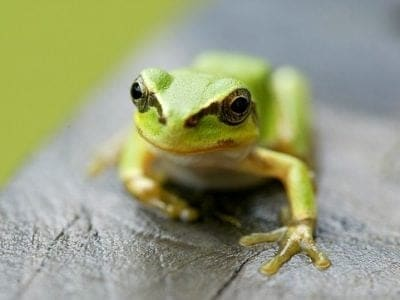 African Tree Toad on a leaf