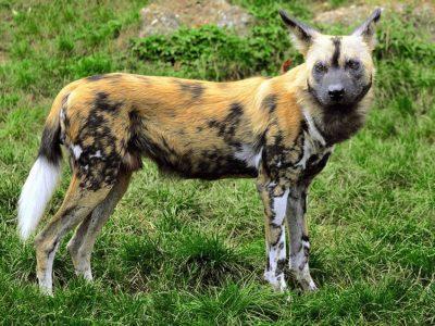 A African Wild Dog