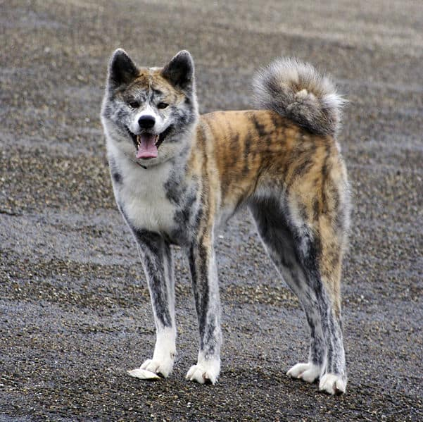 A Akita Dog The Akita is a medium sized