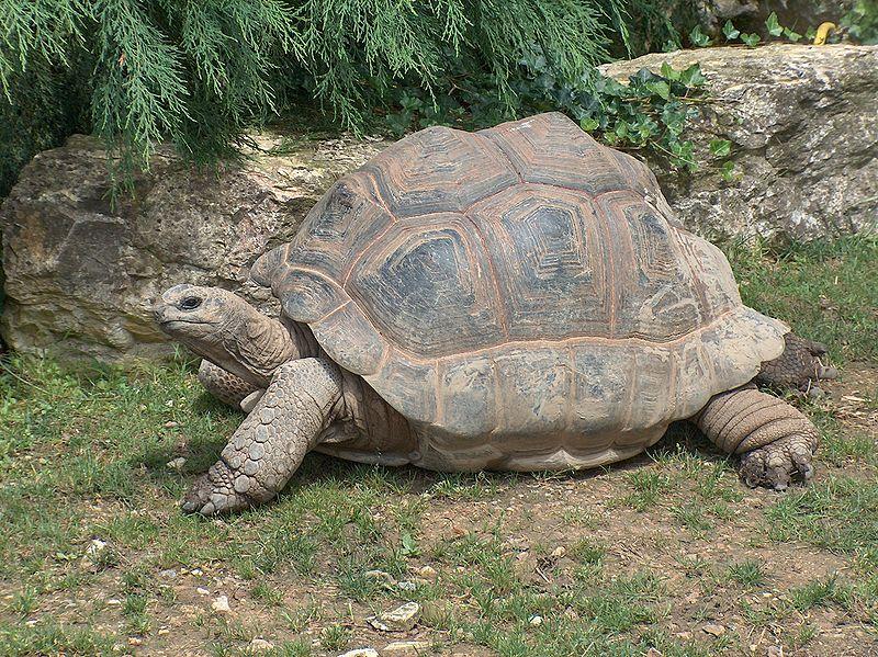 aldabra_giant_tortoise5 aldabra giant tortoise (geochelone gigantea) animals a z animals
