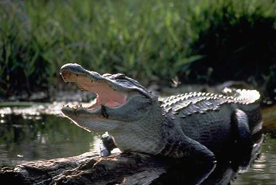 Usa American Alligator Alligator Mississipiensis
