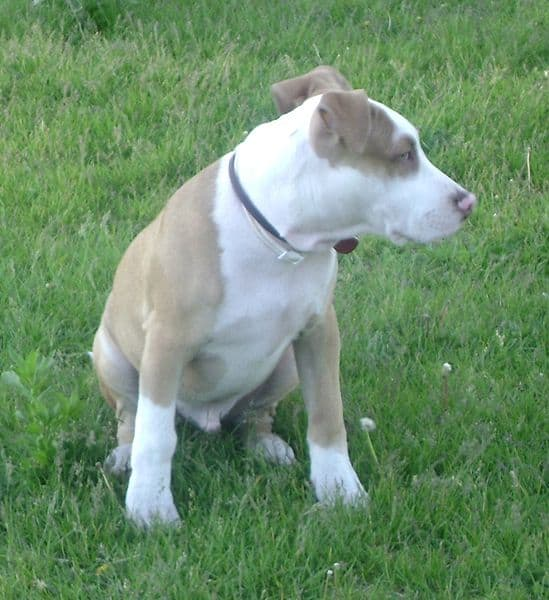 American pit bull terrier pictures 1 pictures to pin on pinterest