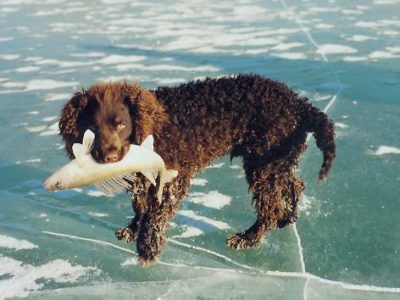 A American Water Spaniel