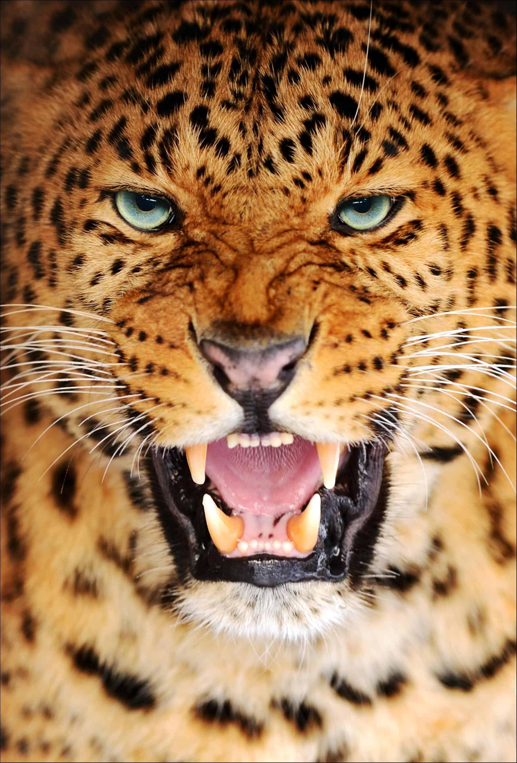 Amur Leopard (Panthera pardus orientalis)   Incredible ...