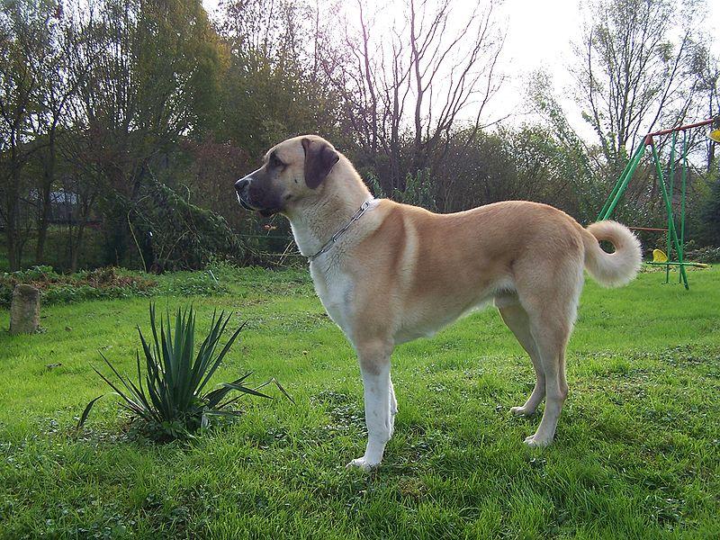 Anatolian Shepherd Dog standing on grass