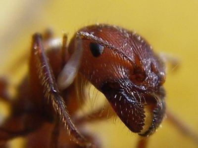 A Formicidae