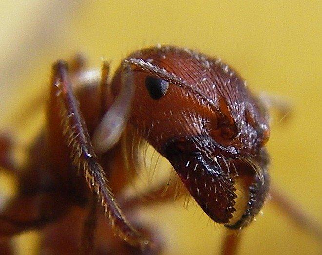 Ant Formicidae Animals AZ Animals