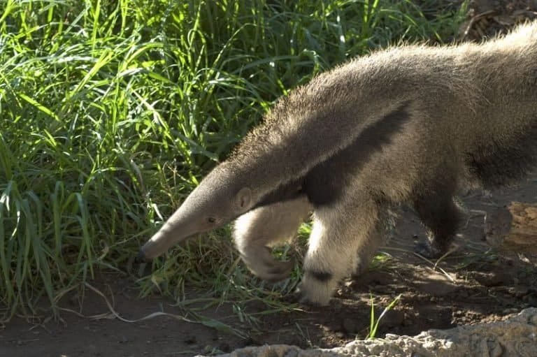 Giant anteater in a zoo setting