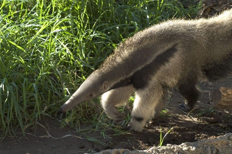 spiny anteater facts