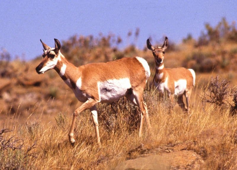Asian gazelle species