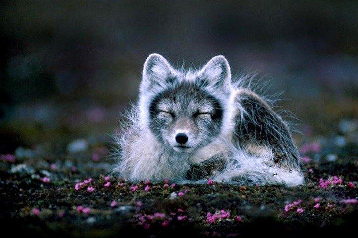 Arctic Fox on ground