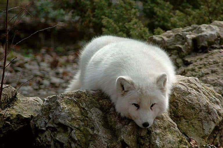 Arctic Fox lying on rock