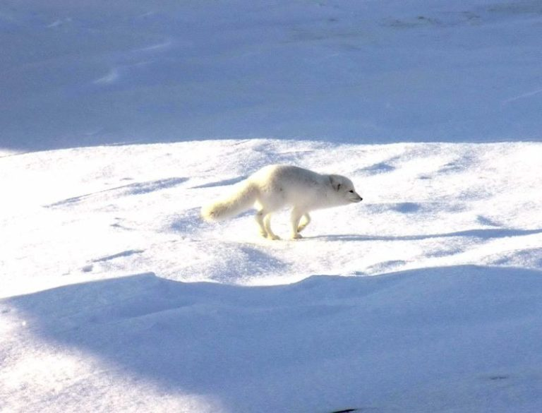 Artic fox in Quttinirpaaq National Park, Nunavut, Canada