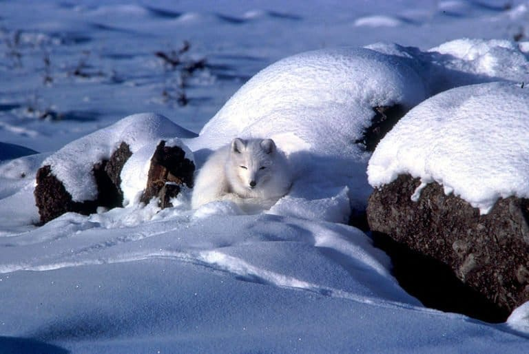 Arctic Fox in snow