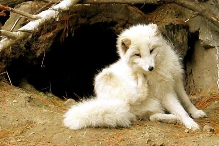 Arctic Fox before den entrance