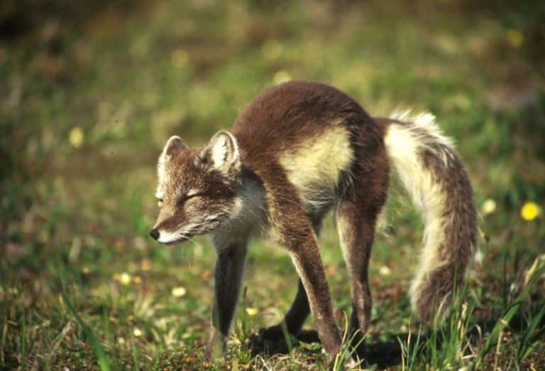Arctic Fox with summer coat
