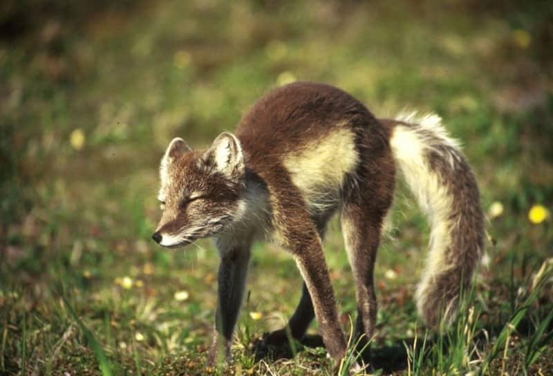 Picture 4 Of 8 Arctic Fox Alopex Lagopus Pictures