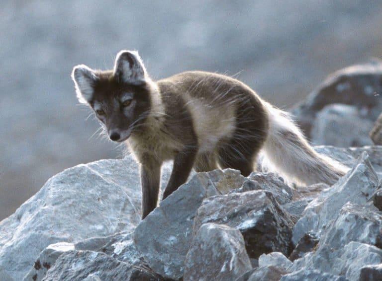 Arctic Fox in summer coat looking for eggs and birds