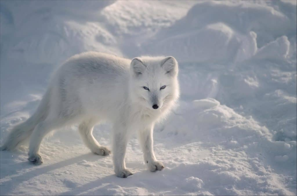 Arctic fox (Alopex Lagopus) toughest animal for surviving extreme cold