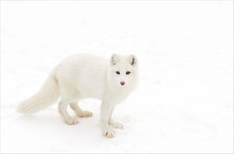 Arctic Fox lying on white background