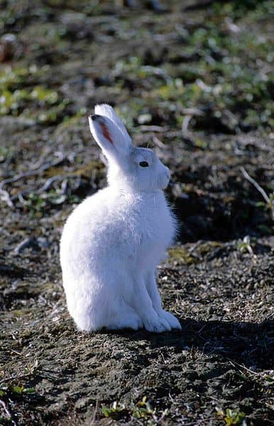 Arctic hare sitting on the ground