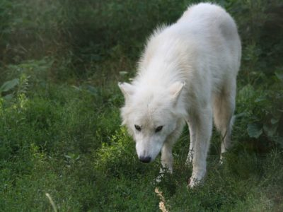 A Arctic Wolf